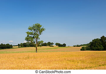 Single tree in agricultural field