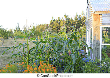 Picturesque farm garden with corn - Summer farm garden with...
