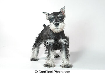 Cute Baby Miniature Schnauzer Puppy Dog on White - Adorable...