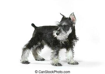 sznaucer,  CÙte, pies, miniatura, niemowlę, biały, szczeniak