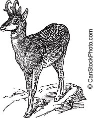 Wild deer - Ancient engraving of a wild yound deer
