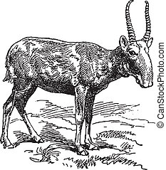 Wild goat