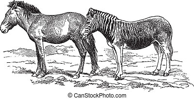Donkey and Hybrid Zebra - Ancient engraving of a donkey and...