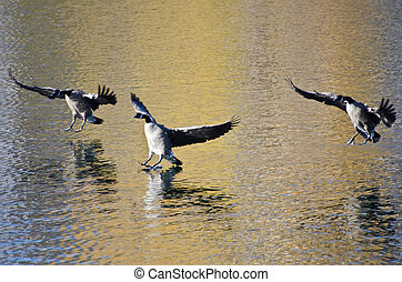 Three Canada Geese Landing on Golden Water in Autumn