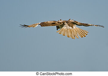 Young Red-Tailed Hawk Diving on its Prey