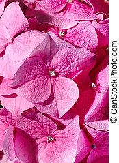 Pink geranium  - Bright background or pink geranium
