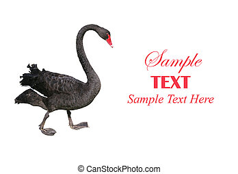 Black Swan with Copy Space for Text