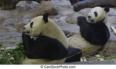 pandas - closeup of two pandas.