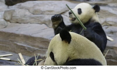 two adult pandas - two pandas in a China safari park.
