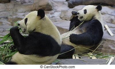 two eating pandas - two adult pandas in a China animal park...