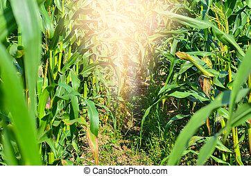 corn field agriculture