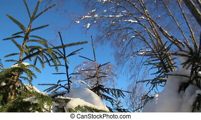 Pine trees covered with thin snow