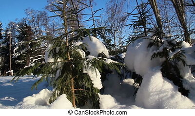 Set of small pine trees covered with snow