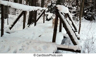 White labrador crossing wooden bridge totally covered in...