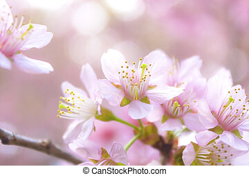 Sakura flowers - Beautiful thai sakura in winter at Chaing...