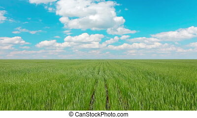field of green ears and cloudy sky