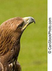 Eagle looking for prey