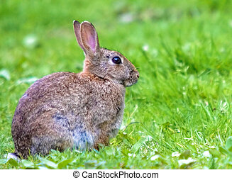 European Wild Rabbit - This image of a European Wild Rabbt...