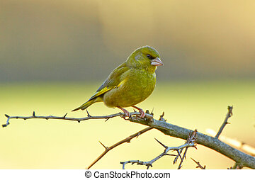 Greenfinch - Its twittering and wheezing song, and flash of...