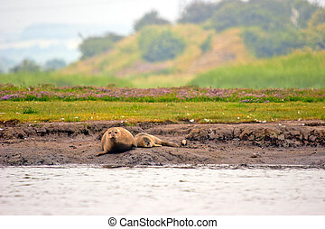Harbour Seals - Two Harbour Seals on a estuary sand bank at...