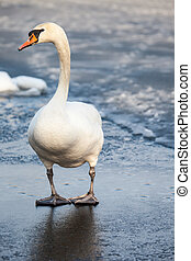 Mute Swan walking in the natural winter environment