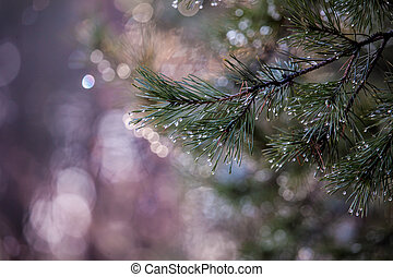 Water drops on pine needles over blurred background.