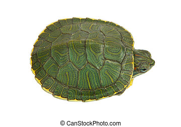 green turtle - Funny green turtle on parade or walking...