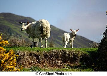 Sheep, cordeiro, pasto, Escócia
