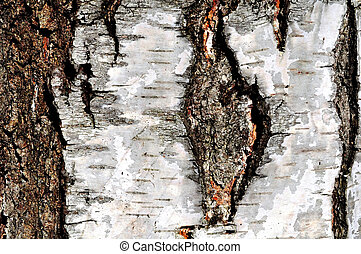 texture of a birch tree
