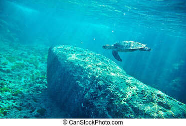 Green Sea Turtle (Chelonia mydas) - Green Sea Turtle...