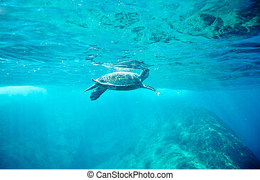 Green Sea Turtle Chelonia mydas pops up to take a sip of air...