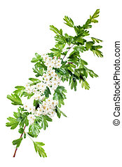 spring hawthorn blossom - fresh hawthorn branch with flowers...