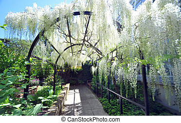 The white wisteria - This pergola type arch flowing with...