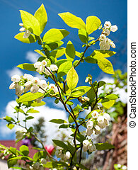Flowering blueberry - Blueberry shrub with lush green leaves...