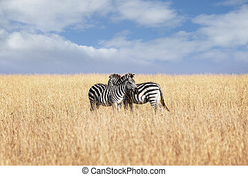 Pair of plain zebras - Small herd of Grant's zebras in...