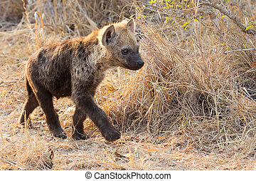 Small hyena pup playing walking outside its den in early morning sun