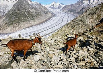 ghiacciaio, montagna,  aletchs,  goat, fondo