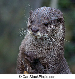 Upright small-clawed otter - Cute small-clawed otter...