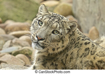 Wary Snow Leopard - Wary snow leopard sitting between rocks