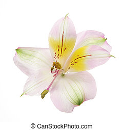 Day lilly flower isolated on white