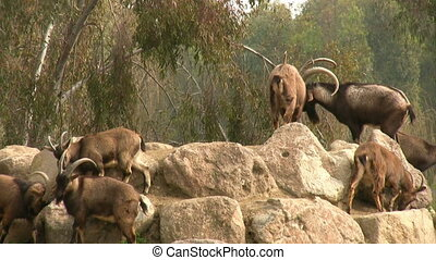 A group of mountain goats
