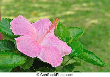 Pinkish shoe flower in garden.