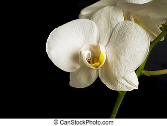 Flowers of white orchid with buds
