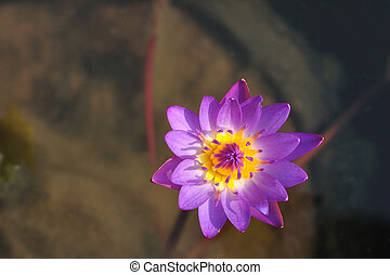 Single violet lotus in pond