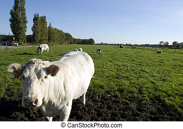 A white cow in a lush green paddock. - A stock photograph of...