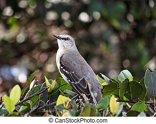 Looking Up - Northern Mockingbird in profile, looking up....