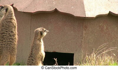 Meerkat - resting Meerkat looking at the camera