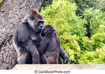 Mother and Baby Gorilla - A mother and baby gorilla looking...