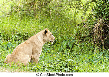Lioness - African lioness hunting , Eastern  Africa