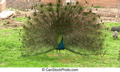 Beautiful preening peacock